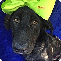 Adopt A Pet :: Bianca in CT - Manchester, CT