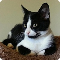 Adopt A Pet :: Peek-a-boo - Rochester Hills, MI