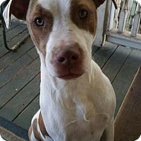 Adopt A Pet :: Bessie - pending - Manchester, NH