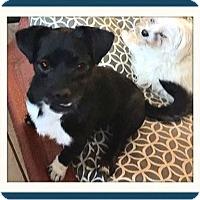 Adopt A Pet :: Batman - Rancho Cucamonga, CA