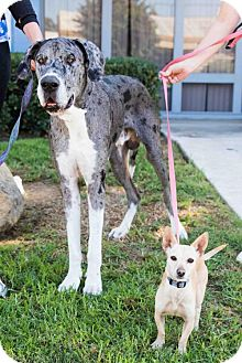 Great Dane/Chihuahua Mix Dog for adoption in San Diego, California - Fezzik & Buttercup