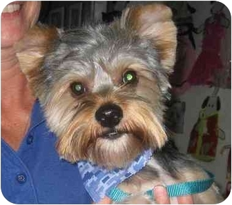 Yorkie, Yorkshire Terrier Dog for adoption in Conroe, Texas - Eddie