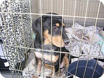 Rottweiler/Catahoula Leopard Dog Mix Puppy for adoption in Las Vegas, Nevada - C's Cricket