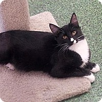 Adopt A Pet :: Batman - Chandler, AZ