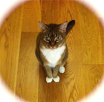 Abyssinian Cat for adoption in Burbank, California - Cute Miss Kitty