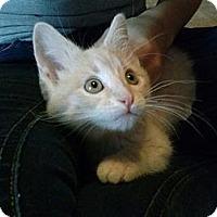 Adopt A Pet :: Newcastle Pirate - Union, KY