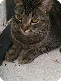 Domestic Shorthair Cat for adoption in Orlando, Florida - Tabby Von Cuteness (KLL)