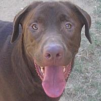 Labrador Retriever Mix Dog for adoption in Cross Roads, Texas - Magnum