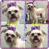 Adopt A Pet :: Lassy - South Gate, CA