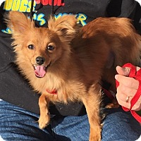 Adopt A Pet :: Little Man - Las Vegas, NV