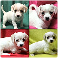 Adopt A Pet :: Puppies! - Forked River, NJ