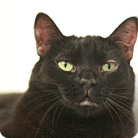 Domestic Shorthair Cat for adoption in Canoga Park, California - Geneva