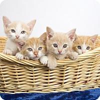 Adopt A Pet :: Kittens, Kittens, Kittens! - Nashville, TN