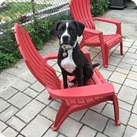Adopt A Pet :: Timon - Silver Spring, MD