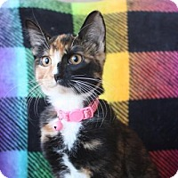 Domestic Shorthair Cat for adoption in Phoenix, Arizona - Isabella