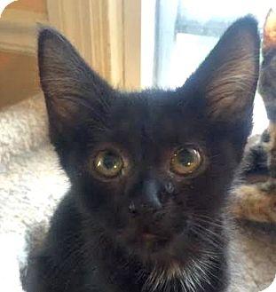 Domestic Shorthair Kitten for adoption in Burlington, North Carolina - MR. PEPPER