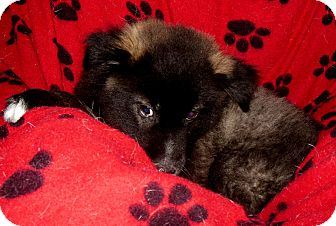 Husky/Border Collie Mix Puppy for adoption in Normandy, Tennessee - Howie