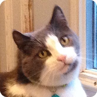 Domestic Shorthair Cat for adoption in Toronto, Ontario - Patches