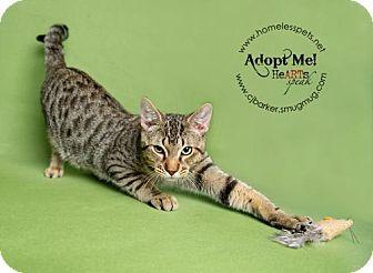 Domestic Shorthair Cat for adoption in Houston, Texas - Pinocchio