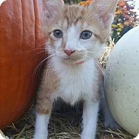 Adopt A Pet :: Ollie - Oakland, MI