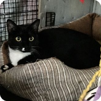 Domestic Shorthair Cat for adoption in Ashland, Massachusetts - Twinkles Toes - Courtesy Post