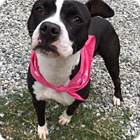 Pit Bull Terrier Mix Dog for adoption in Greensboro, North Carolina - Scarlette