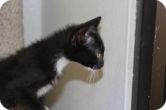 Domestic Shorthair Kitten for adoption in Greensboro, North Carolina - Merlin