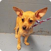 Adopt A Pet :: Cider - Chalfont, PA