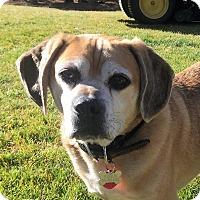 Adopt A Pet :: Puggles - Love Bug! - Bend, OR