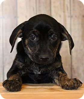 Jack Russell Terrier Mix Puppy for adoption in Waldorf, Maryland - Joplin