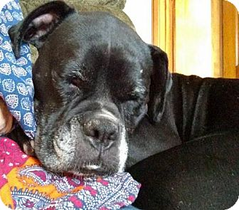 Boxer Dog for adoption in Woodbury, Minnesota - Baby Girl