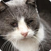 Adopt A Pet :: Joseph (FIV Positive) - Marietta, OH