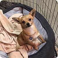 Adopt A Pet :: Fox - Vacaville, CA