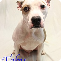 Adopt A Pet :: Toby - Bradenton, FL