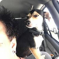 Adopt A Pet :: Ballerina - Phoenix, AZ