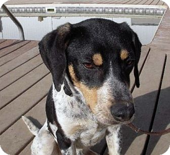 Treeing Walker Coonhound Dog for adoption in Sacramento area, California - Captain America