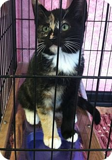 Calico Kitten for adoption in Red Bluff, California - Imp