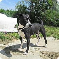 Adopt A Pet :: Opie - Jacksonville, NC