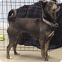 Chihuahua/Italian Greyhound Mix Dog for adoption in Oak Ridge, New Jersey - Hillary-Most Improved!