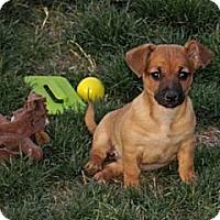 Adopt A Pet :: Pancake - Phoenix, AZ