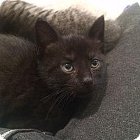 Adopt A Pet :: Violette - Southington, CT