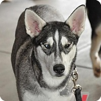 Adopt A Pet :: Zahara - Carrollton, TX