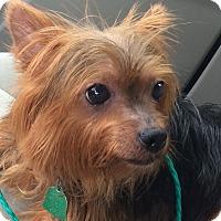 Adopt A Pet :: Mischa - Dallas, TX