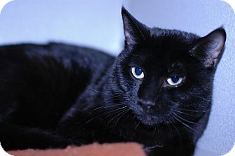 Domestic Shorthair Cat for adoption in Buffalo, Wyoming - Felix