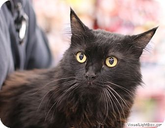 Maine Coon Kitten for adoption in Westchester, California - Alvin