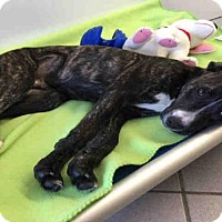Adopt A Pet :: GOLLY - Canfield, OH