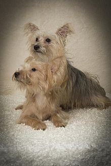 Yorkie, Yorkshire Terrier/Terrier (Unknown Type, Small) Mix Dog for adoption in Davie, Florida - Colin