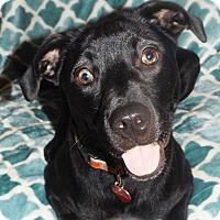 Labrador Retriever Mix Dog for adoption in Chicago, Illinois - Isabelle