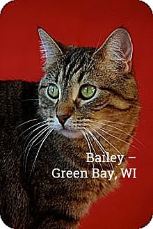 Domestic Shorthair Cat for adoption in Green Bay, Wisconsin - Bailey