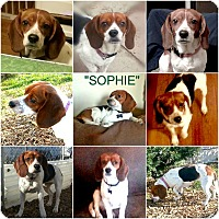 "Adopt A Pet :: ""SOPHIE"" - Findlay, OH"